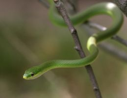 Rough Green Snake 20D0027648 by Cristian-M