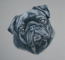 Ty, Pug Portrait by Stephanie-Greaves