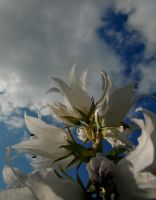 White bell flower by ainoani