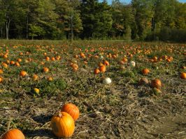 Pumpkin Patch 001 by Stock7000