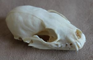 Destash! Marten skull, fur scraps and more by lupagreenwolf