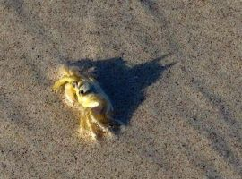 Bat Crab. by The--Mad--Russian