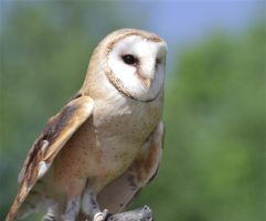 Barn Owl by Parides