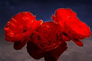 roses and background by harlan-heuker