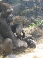 Infant Gorilla and Mother by jesspotter