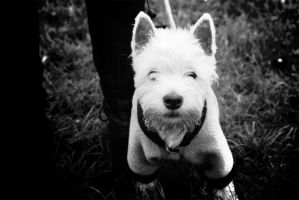 West Highland White Terrier by waterdesign