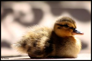 With A Little Quack by shutterbugmom