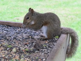 Gray Squirrel 4 by Windthin