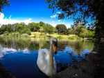 The Swan by Flyy1