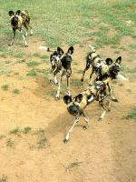 African Wild Dogs by MorganMortician