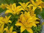 gold daylilies by FlyingFox-Bat