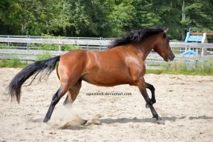 Bay morgan extend in the canter chomping on grass by equustock