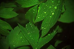 Drops On Leafs by MiaLeePhotography