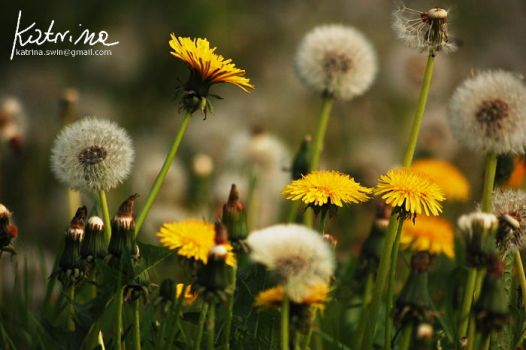 Dandelions by KatrinaSwinnley