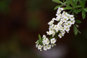 Bridal Wreath by Photolover68