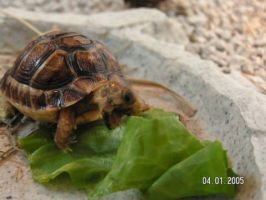 Baby Egyptian Tortoise by LacunaCobra