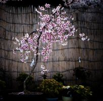 Potted Cherry Tree by ricperry1