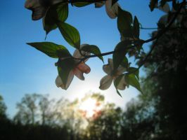 Dogwood Sunset by Rachelgravesart