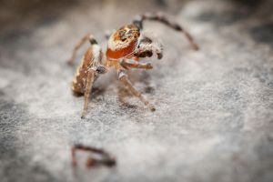Jumpy Spider 2 by Colin-LOCP