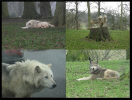 Longleat wolves by Silverfang-Chaos