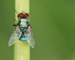 Colored Fly by pharaohking