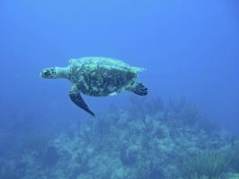 Hawksbill Turtle by piratepigeon