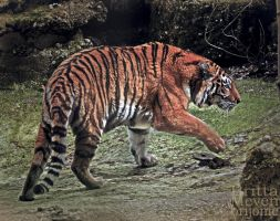 Tiger fight3 by brijome