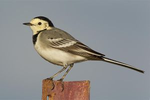 White Wagtail by Jamie-MacArthur