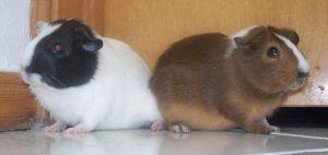 My guinea pigs by Sweetgirl333