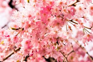 pink cherry blossoms. by mez81
