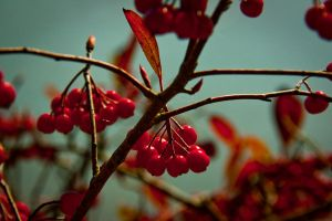 Berries by tylerscottsmith