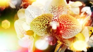 Dreamy orchid by Mishelangello