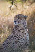 Cheetah Portrait by willbl