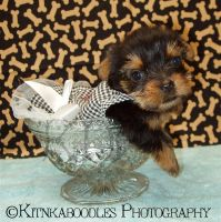 Yorkie Puppy in a Candy Dish by kitnkaboodles