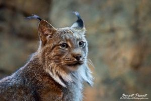 Lynx 002 by BenoitPhotographie