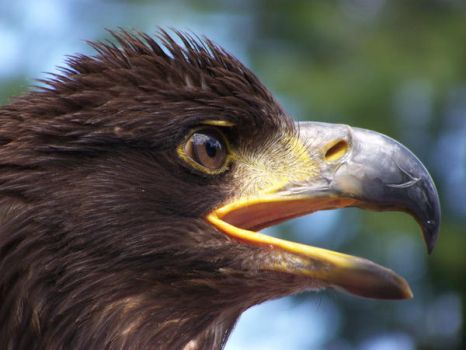 sea-eagle1 by LidiaL