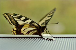 Papilio Machaon by Kalhyia