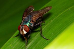 Housefly 06 by josgoh