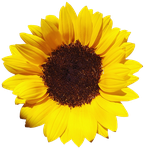 Sunflower PNG #3 by DarkSideofGraphic