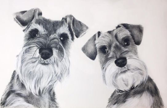 Colin and Lucy - miniature schnauzer by LisaAnneArt