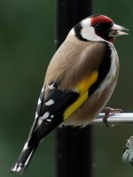 Wet Goldfinch by WestLothian