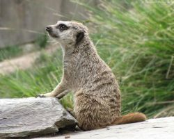 Meerkat 777 by caybeach