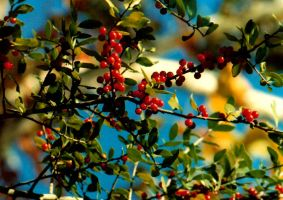 Boring Holly Tree Branch Photo by rhunel