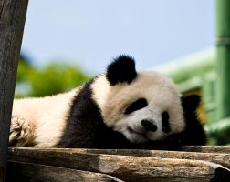 Sleeping Panda by miezbiez