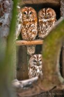 Three Owls by brijome