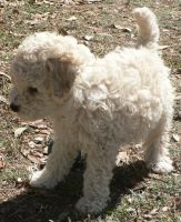 Animal - White Poodle -Playin1 by Gracies-Stock