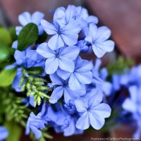 Blue plumbago 1 by FrancescaDelfino