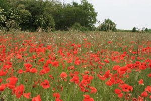 Poppy field by Seraerith-stock