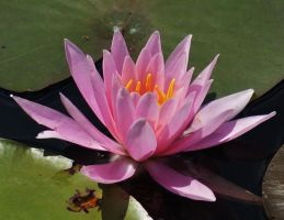 Fragrant Water Lily by Matthew-Beziat