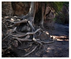 Gooseberry Roots by richardcgreen
